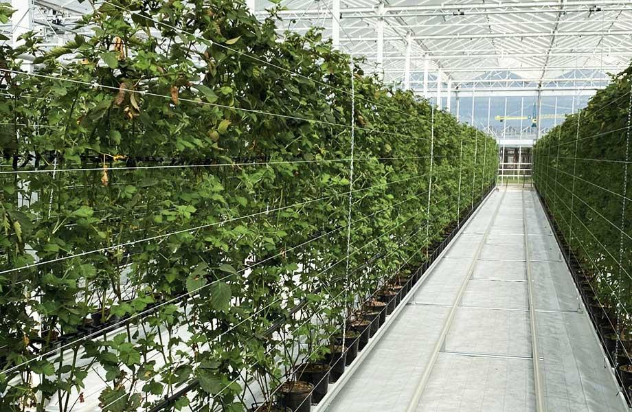 Nieuwe kas gereed bramenplanten
